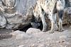 Spotted_Hyena_Cub_Mashatu_2019_Botswana_0010