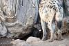 Spotted_Hyena_Cub_Mashatu_2019_Botswana_0017