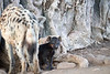 Spotted_Hyena_Cub_Mashatu_2019_Botswana_0020