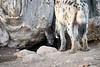 Spotted_Hyena_Cub_Mashatu_2019_Botswana_0018