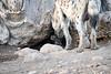 Spotted_Hyena_Cub_Mashatu_2019_Botswana_0009
