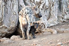 Spotted_Hyena_Cub_Mashatu_2019_Botswana_0024