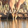 Impala_Mashatu_Botswana0018