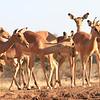 Impala_Mashatu_Botswana0023