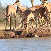 Impala_Mashatu_Botswana0013