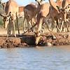 Impala_Mashatu_Botswana0014