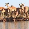 Impala_Mashatu_Botswana0026