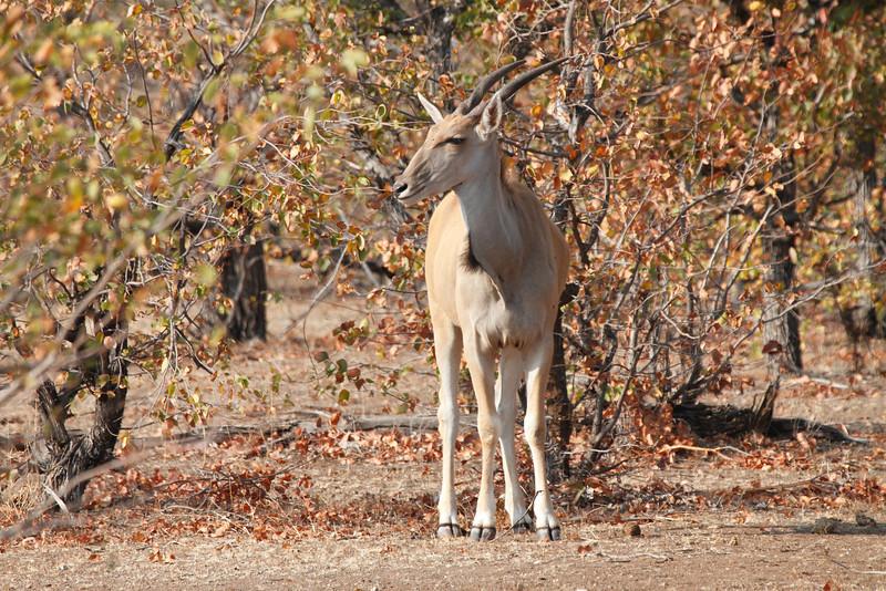 Kudu_Mashatu_Botswana0007