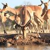 Impala_Mashatu_Botswana0029