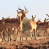 Impala_Mashatu_Botswana0011