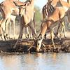 Impala_Mashatu_Botswana0028