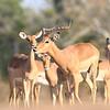 Impala_Mashatu_Botswana0034