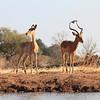Impala_Mashatu_Botswana0008