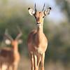 Impala_Mashatu_Botswana0033