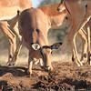 Impala_Mashatu_Botswana0024