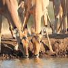 Impala_Mashatu_Botswana0022