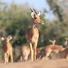 Impala_Mashatu_Botswana0006