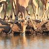 Impala_Mashatu_Botswana0017