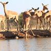 Impala_Mashatu_Botswana0025