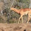 Impala_Mashatu_Botswana0005