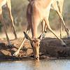 Impala_Mashatu_Botswana0021