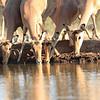 Impala_Mashatu_Botswana0019