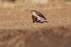 Little_SparrowHawk_Matebole_Hide_Mashatu_Botswanna__0033