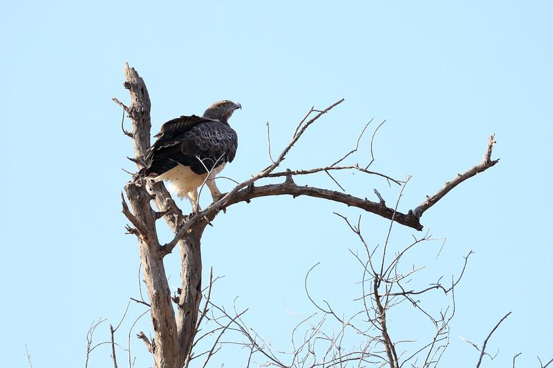 Eagle_Mashatu_Botswanna__0020