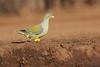 Green_Pigeon_Mashatu_Botswanna__0007