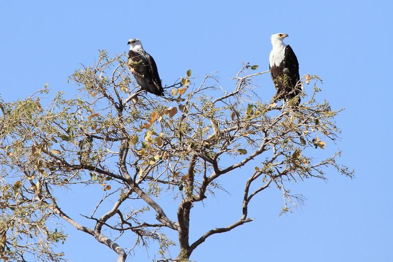 African_FishEagle_Mashatu_Botswana0001