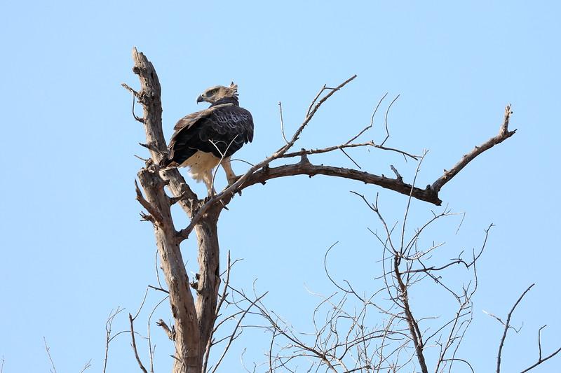 Eagle_Mashatu_Botswanna__0005