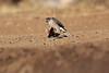 Little_SparrowHawk_Matebole_Hide_Mashatu_Botswanna__0029