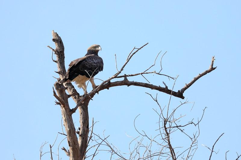 Eagle_Mashatu_Botswanna__0011