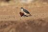 Little_SparrowHawk_Matebole_Hide_Mashatu_Botswanna__0031