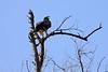 Eagle_Mashatu_Botswanna__0002