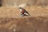 Little_SparrowHawk_Matebole_Hide_Mashatu_Botswanna__0023