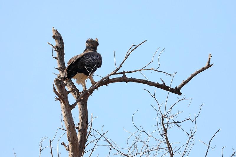Eagle_Mashatu_Botswanna__0014