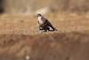 Little_SparrowHawk_Matebole_Hide_Mashatu_Botswanna__0015
