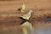 Green_Pigeon_Mashatu_Botswanna__0027