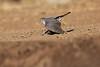 Little_SparrowHawk_Matebole_Hide_Mashatu_Botswanna__0067