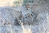 Cheetah_Mashatu_Botswanna__0013