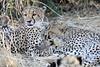Cheetah_Mashatu_Botswanna__0199