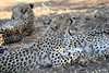 Cheetah_Mashatu_Botswanna__0209