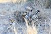 Cheetah_Mashatu_Botswanna__0005