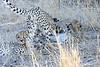 Cheetah_Mashatu_Botswanna__0022