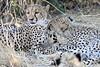 Cheetah_Mashatu_Botswanna__0198