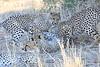 Cheetah_Mashatu_Botswanna__0011