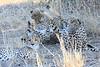 Cheetah_Mashatu_Botswanna__0009