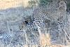 Cheetah_Mashatu_Botswanna__0015