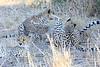 Cheetah_Mashatu_Botswanna__0003